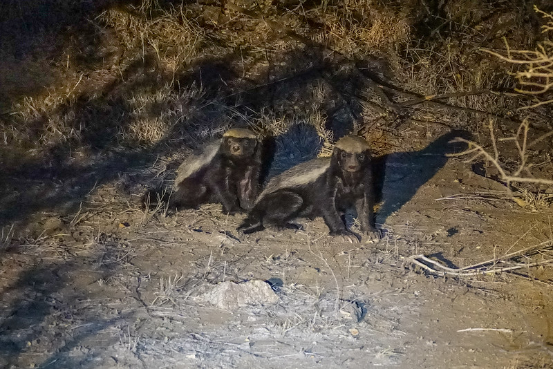 Honey Badger, Balule Game Reserve, Greater Kruger NP, South Africa