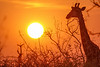 Giraffe in sunrise, Balule Game Reserve, South Africa.
