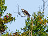 Osprey, Dutch Gap Conservation Area, VA