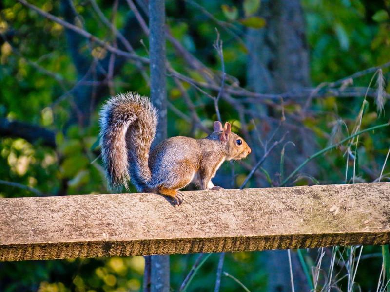 Grey Squirrel, Henricitus City Park, Chester VA