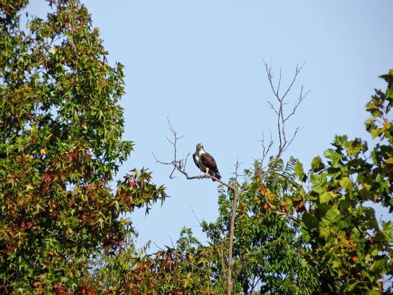 Osprey, Dutch Gap Conservation Area, VA