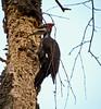 Piliated Woodpecker, Henricitus City Park, Chester VA