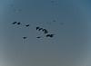 Canada Geese, Henricitus City Park, Chester VA