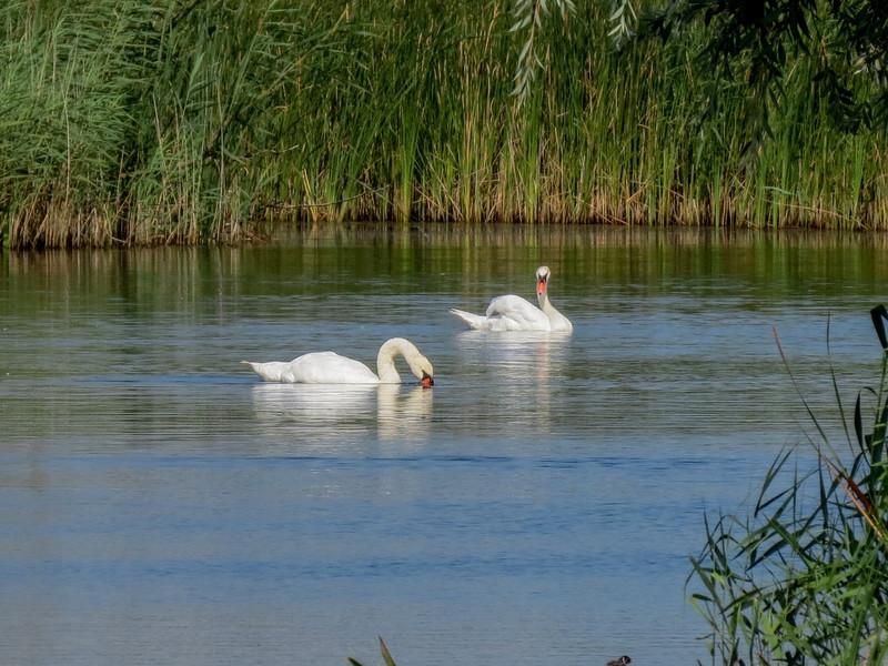 Mute Swan, the Oostvaardersplassen in Lelystad, The Netherlands