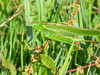 Katydid, the Oostvaardersplassen in Lelystad, The Netherlands