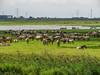 Konik Ponies (wild horses), the Oostvaardersplassen in Lelystad, The Netherlands