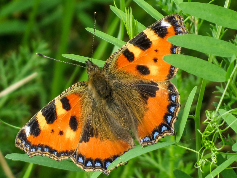 Small Tortoiseshell Butterfly, the Oostvaardersplassen in Lelystad, The Netherlands.