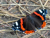 Red Admiral, the Oostvaardersplassen in Lelystad, The Netherlands