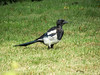 Magpie, Lelystad, The Netherlands.