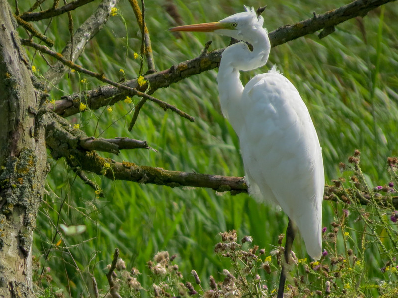 Great Egret, the Oostvaardersplassen in Lelystad, The Netherlands