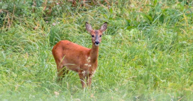 Roe Deer, the Oostvaardersplassen in Lelystad, The Netherlands