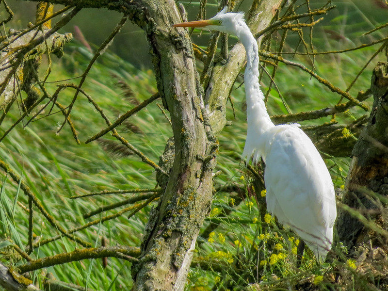 Great Egret, the Oostvaardersplassen in Lelystad, The Netherlands