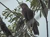 Squirrel Cuckoo, Panacam Lodge, Honduras