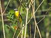 Social Flycatcher, Lancetilla Botanical Gardens, Honduras