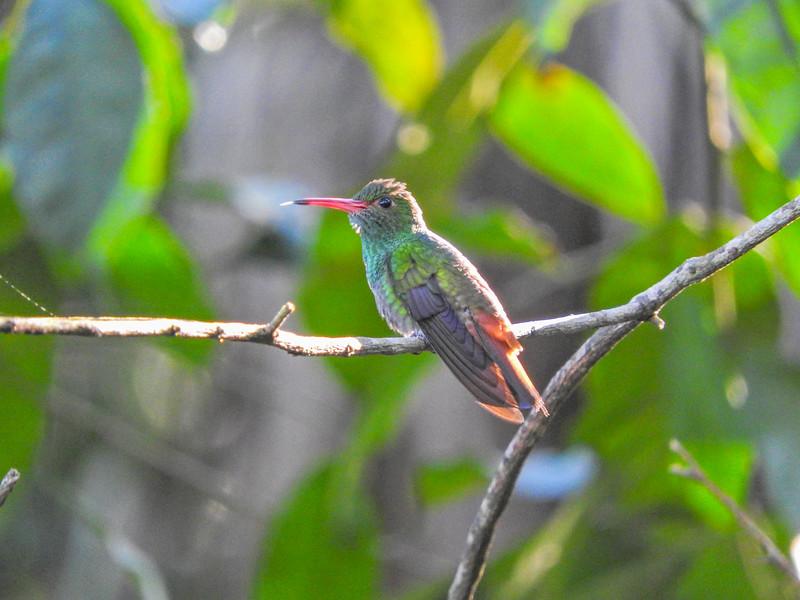 Rufous-tailed Hummingbird, The Lodge at Pico Bonito, Honduras