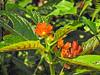Flower, Lancetilla Botanical Gardens, Honduras