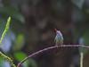 Rufous-tailed Hummingbird, Panacam