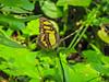 Green Malicite, Lancetilla Botanical Gardens, Honduras