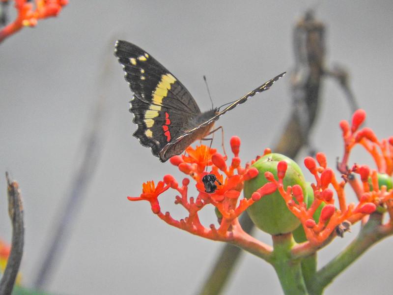 Banded Peacock, Lancetilla Botanical Gardens, Honduras