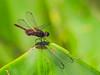 Dragonfly, Lancetilla Botanical Gardens, Honduras
