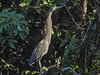 Bare-throated Tiger Heron,  Cuero y Salado NWR, Honduras