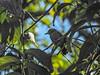 Black-crowned Antshrike, Cuero y Salado NWR, Honduras