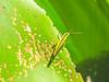 Grasshopper, Lancetilla Botanical Gardens, Honduras
