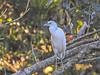 Little-blue Heron, Parque Arqueológico Los Naranjos.