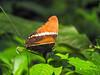 Butterfly, Lancetilla Botanical Gardens, Honduras