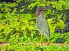 Green Heron,  Cuero y Salado NWR, Honduras