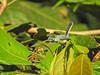 Tropical Natcatcher, Lancetilla Botanical Gardens, Honduras