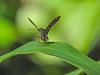 Two-barred Skipper, Lancetilla Botanical Gardens, Honduras