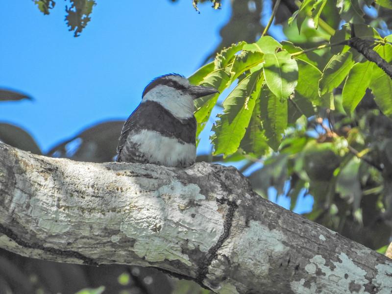 White-collared Puffbird,  Cuero y Salado NWR, Honduras