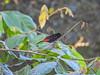Passerini's Tanager, Lancetilla Botanical Gardens, Honduras