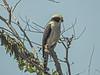 Laughing Falcon,  Cuero y Salado NWR, Honduras