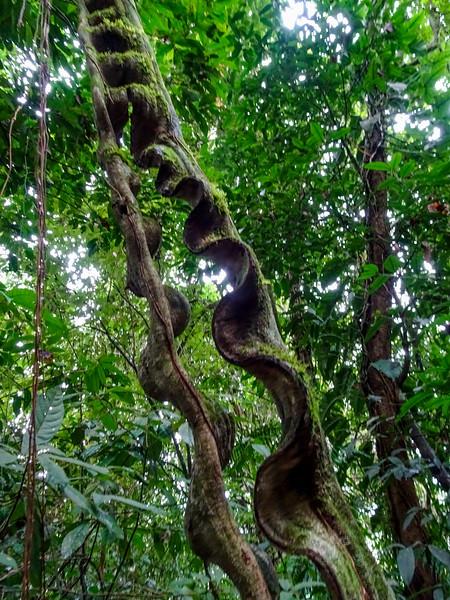 Monkey Ladder, Panacam Lodge, Honduras