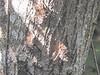 Long-nosed Bats,  Cuero y Salado NWR, Honduras
