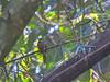 Rufous-tailed Jacamar, Lancetilla Botanical Gardens, Honduras