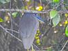 Boat-billed Heron,  Cuero y Salado NWR, Honduras