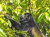 Howler Monkey,  Cuero y Salado NWR, Honduras