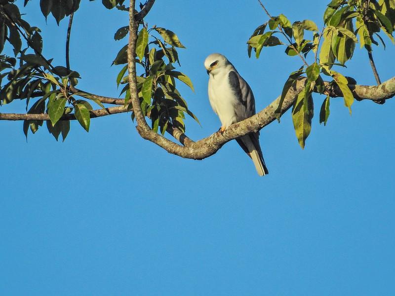 White-tailed Kite,  Cuero y Salado NWR, Honduras