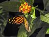 Tiger-wing Heliconian, Parque Arqueológico Los Naranjos.
