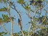Common Mangrove Blackhawk,  Cuero y Salado NWR, Honduras