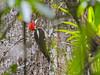 Lineated Woodpecker, Parque Arqueológico Los Naranjos.