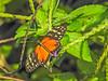 Tiger-wing Heliconian,Lake Yojoa, Honduras