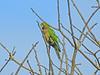 Olive-throated Parakeet, Panacam Lodge