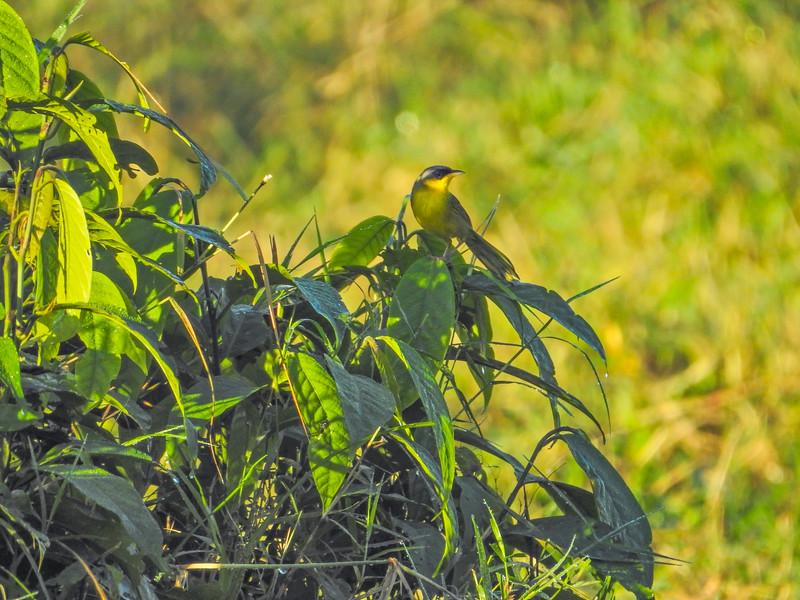Grey-crowned Yellowtroat,  Cuero y Salado NWR, Honduras