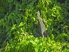 Green Iguana,  Cuero y Salado NWR, Honduras