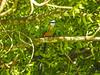 Turquoise-browed Motmot, Parque Arqueológico Los Naranjos.