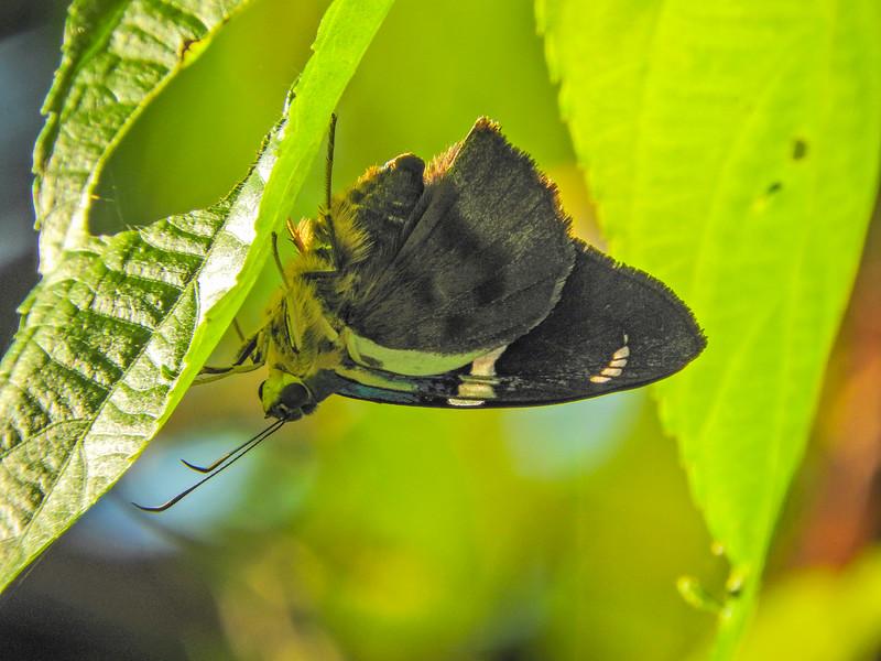 ? Moth, The Lodge at Pico Bonito, Honduras